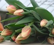 Тюльпаны к 8 марта от производителя